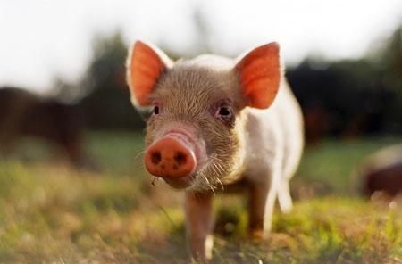 Λάρισα: Προσπάθησε να κλέψει… γουρούνι από στάβλο στην Αγιά