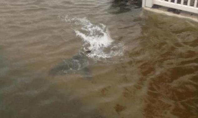 Ο άνθρωπος που παρίστανε τον καρχαρία στα νερά του τυφώνα Sandy! Βίντεο