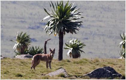 «Γενετικά ευάλωτος» ο σπανιότερος λύκος στον κόσμο