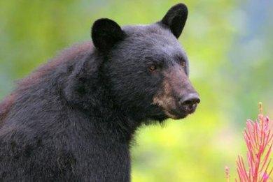 Τρίκαλα: Αρκούδα έφαγε 50 κότες