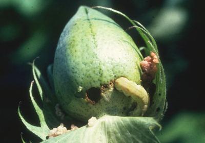 Καμία αποζημίωση  στους βαμβακοκαλλιεργητές