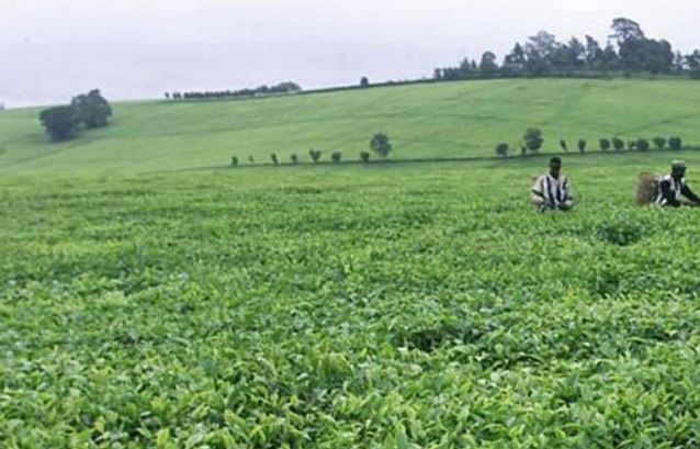 Ινδία: Εργάτες σε φυτεία τσαγιού έκαψαν τον προϊστάμενό τους