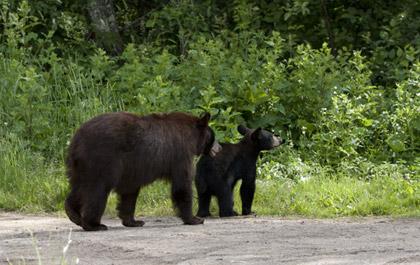 ΗΠΑ: Σχεδιάζουν υπόγειες διαβάσεις για... αρκούδες.