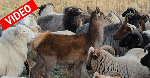 Το ελάφι που νομίζει ότι είναι... πρόβατο