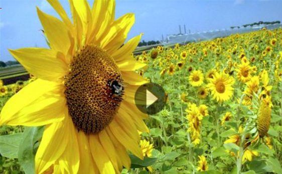 Ηλεκτρισμένος έρωτας ανάμεσα στις μέλισσες και τα λουλούδια