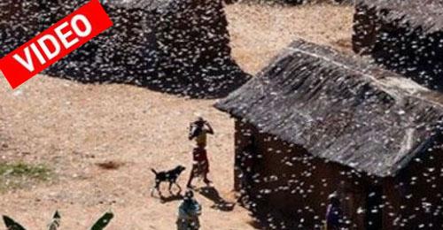 Σμήνη από ακρίδες απειλούν τη Μαδαγασκάρη