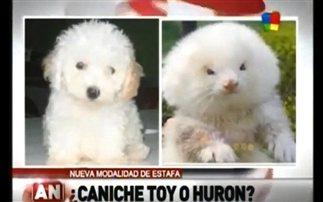 Επιτήδειοι πουλούσαν νυφίτσες για σκύλους!