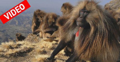 Κι όμως υπάρχουν πίθηκοι στην Αιθιοπία που μιλάνε