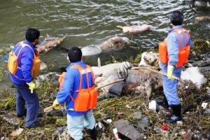 Εξιχνιάστηκε το «έγκλημα» με τα 16.000 νεκρά γουρούνια σε ποταμό της Κίνας