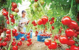 Οδηγίες για τις τομάτες θερμοκηπίου της Μαγνησίας