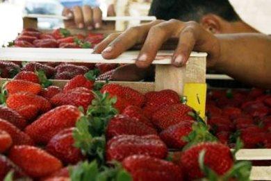 Ούτε δέκα Ελληνες δεν πήγαν να μαζέψουν φράουλες στη Νέα Μανωλάδα