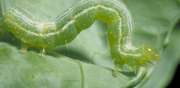 Πράσινο σκουλήκι σε βαμβακοκαλλιέργειες στους δήμους Κιλελέρ, Λάρισας και Φαρσάλων
