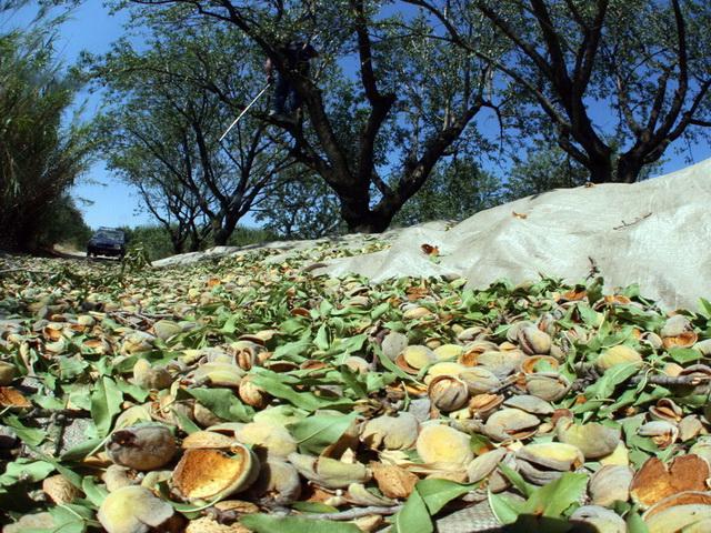 Εξαφανίστηκαν... αμύγδαλα από 60 δέντρα!