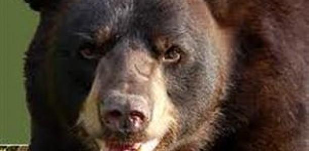 Κυνηγητό με την αρκούδα για 2 Τρικαλινούς βοσκούς!