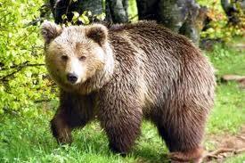 «Ραντεβού» βοσκών με αρκούδα στα ορεινά των Τρικάλων!