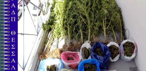 Συνελήφθη για καλλιέργεια δενδρυλλίων κάνναβης στα Τρίκαλα