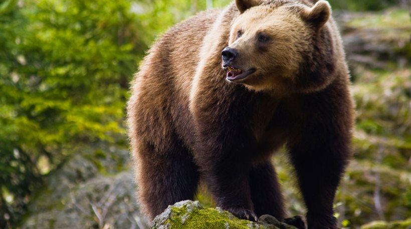 Τρίκαλα: Αρκούδα βρέθηκε νεκρή στην Καλαμπάκα