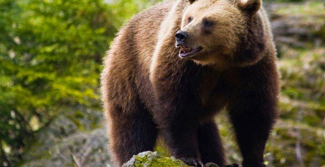 Νεκρή αρκούδα από πυροβολισμό στη Μύκανη Καλαμπάκας
