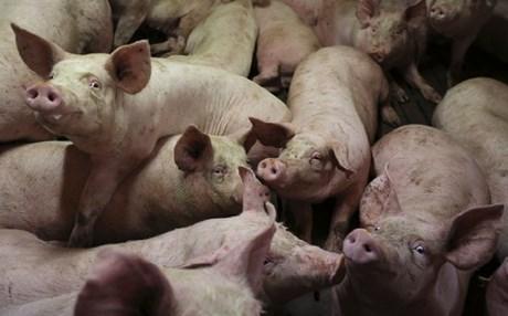 Καλαβρέζοι μαφιόζοι τάισαν θύμα τους στα γουρούνια