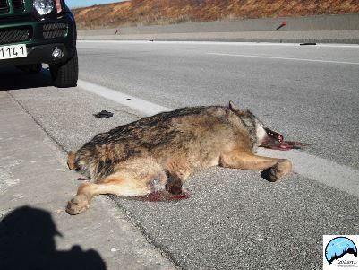 Η άγρια πανίδα εξοντώνεται στους εθνικούς δρόμους
