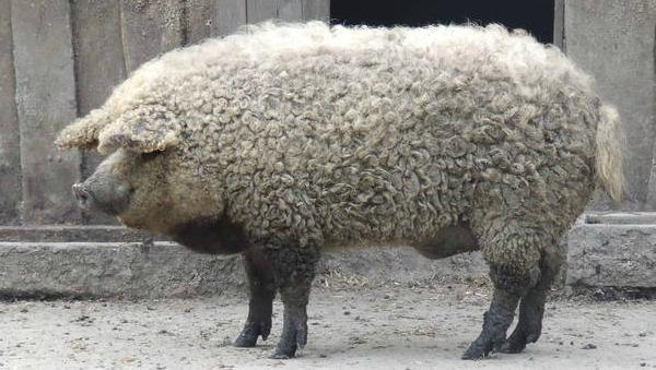 Το γουρούνι που ήθελε να γίνει πρόβατο