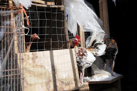 Κατασχέθηκαν 3.000 πτηνά που συμμετείχαν σε κοκορομαχίες