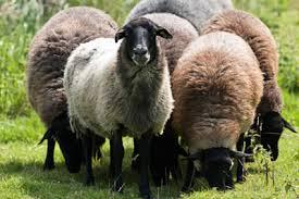 Κάηκαν 100 πρόβατα σε κτηνοτροφική μονάδα