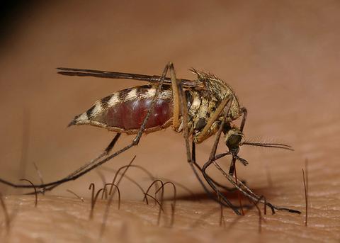 Οι Ναζί ήθελαν να χρησιμοποιήσουν τα κουνούπια ως όπλα