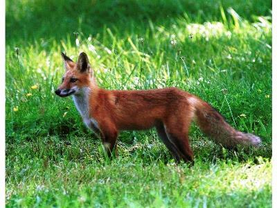 Λύσσα σε άγρια κόκκινη αλεπού στα Τρίκαλα