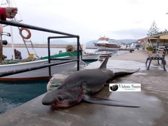 Καρχαριοειδές τεσσάρων μέτρων ψαρεύτηκε στην Κεφαλονιά -Πιάστηκε στα δίχτυα ψαράδων [εικόνες&βίντεο]