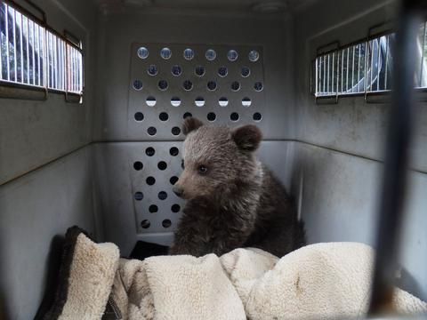 Ορφανό αρκουδάκι «υιοθέτησε» ο «Αρκτούρος»