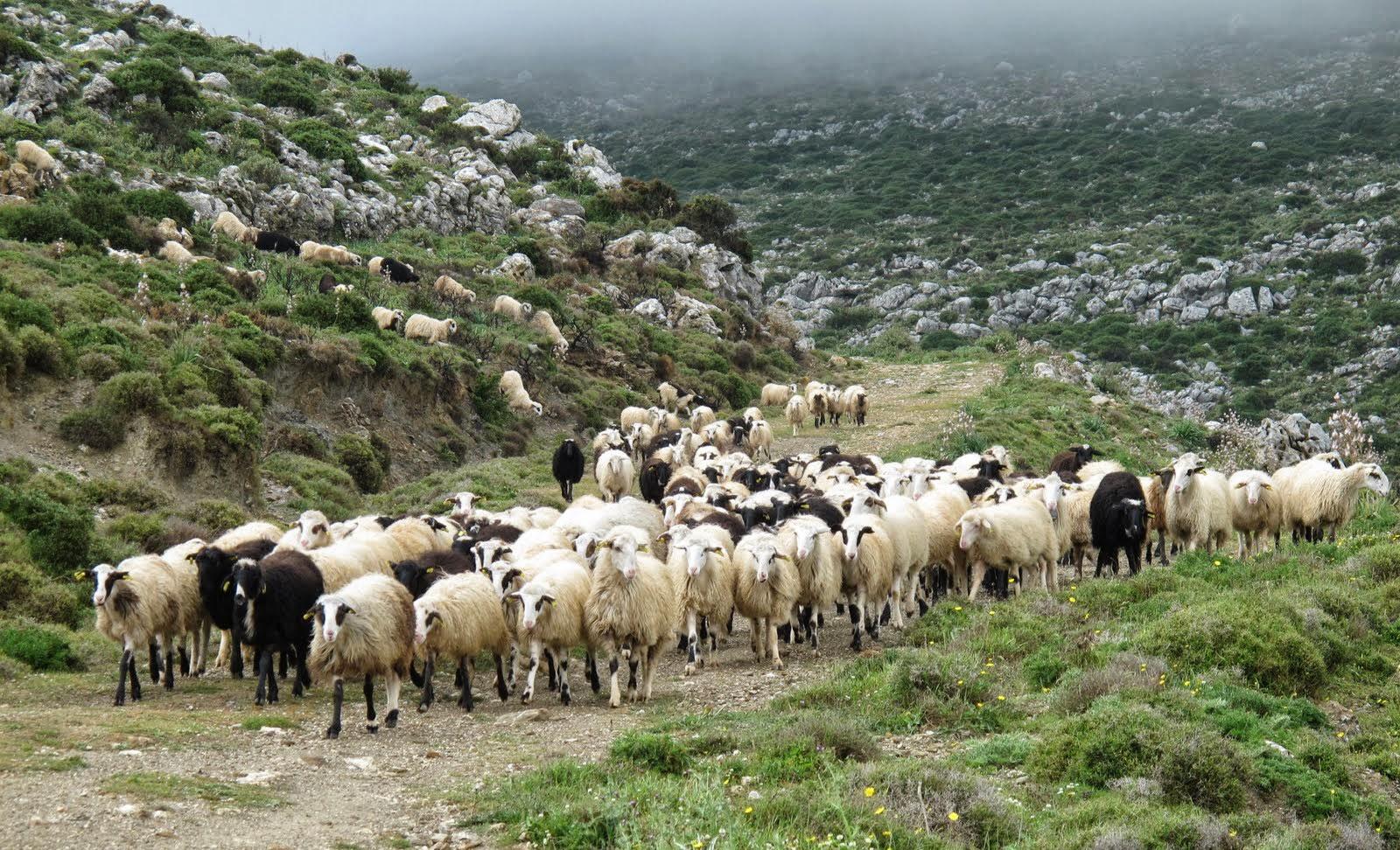 Και δεύτερος κτηνοτρόφος στην Ελασσόνα απασχολούσε παράνομα εργαζόμενο
