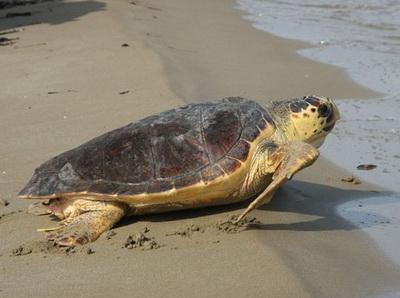 Τραυματισμένη καρέτα-καρέτα ~ Βρέθηκε σε παραλία της Σκοπέλου