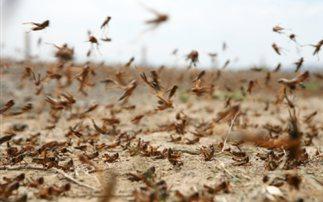 Ακρίδες θα απειλήσουν καλλιέργειες στα Τρίκαλα