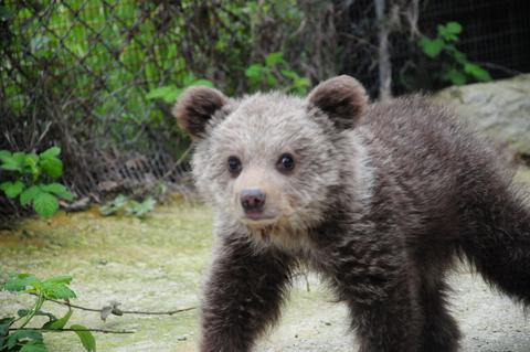 Ανέκτησε τις δυνάμεις της η «Ζωή» το ορφανό αρκουδάκι