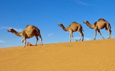 Σαουδική Αραβία: Νέοι θάνατοι από MERS ενώ οι τουρίστες συνεχίζουν να... φιλούν καμήλες