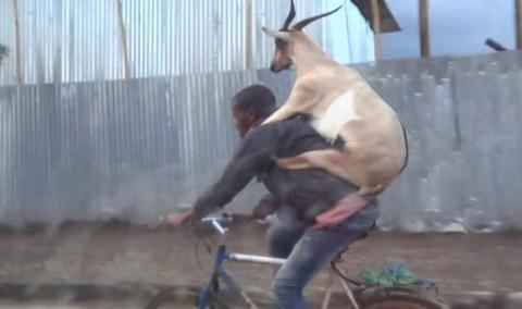 Βίντεο: Κατσίκα πάνω σε ποδηλάτη κάνει βόλτα στην Αιθιοπία