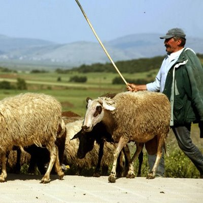 Σκυλιά έπνιξαν 30 πρόβατα στο Διμήνι!