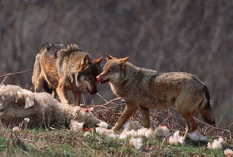 Επιδρομή λύκων σε μαντρί στον Ανθότοπο Αλμυρού