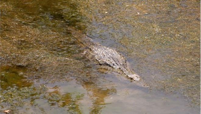 Απιαστος ο κροκόδειλος στο Ρέθυμνο, ουρά κάνουν οι τουρίστες