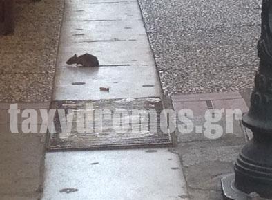 0f13b1884b8 Επιδρομή από ποντίκια στο κέντρο του Βόλου