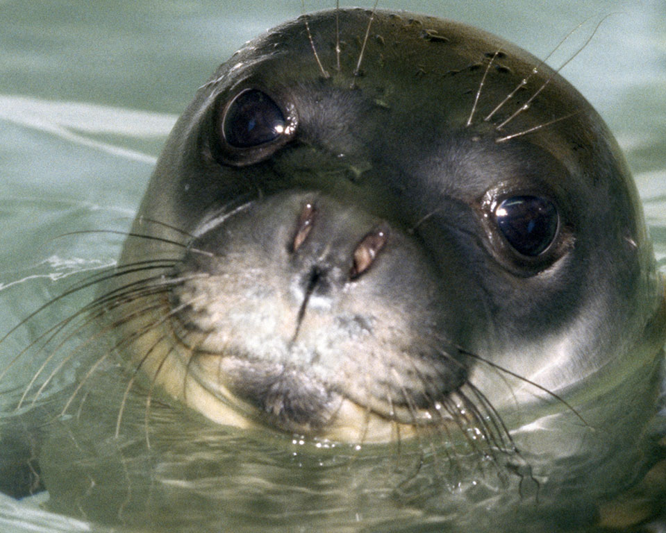 Συμφωνία για την προστασία της μεσογειακής φώκιας υπέγραψαν WWF και υπ. Περιβάλλοντος
