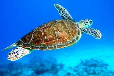 Νεκρή χελώνα καρέτα–καρέτα στη Σκόπελο