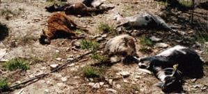 Κάηκαν πάνω από 300 αρνιά στο Αργυροπούλι