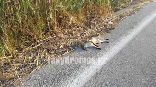 Νεκρή αλεπού στα Πευκάκια