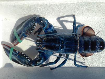 Αλιεύτηκε μπλε αστακός