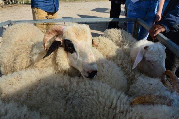Τον Σεπτέμβριο οι αποζημιώσεις στους κτηνοτρόφους