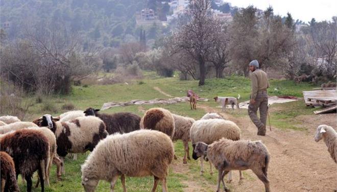 Εξαπλώνεται επικίνδυνα ο καταρροϊκός πυρετός των προβάτων στην Ελλάδα σύμφωνα με κτηνοτρόφους