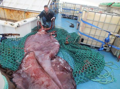 Στο μικροσκόπιο ερευνητών γιγαντιαίο καλαμάρι βάρους 350 κιλών που αλιεύτηκε