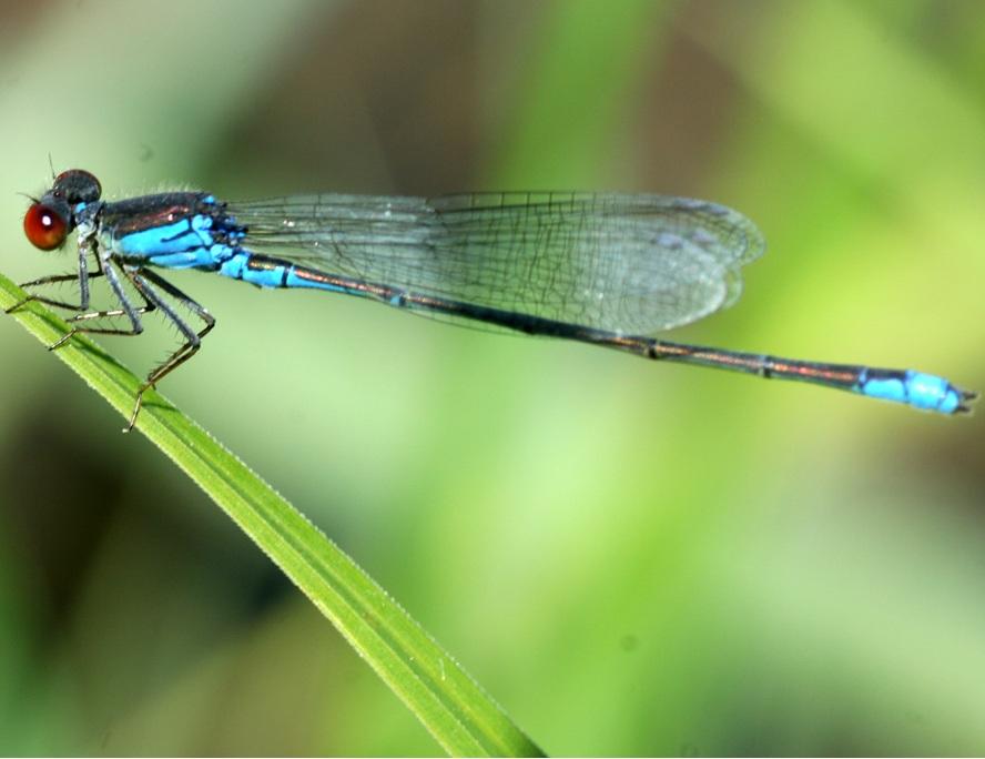 Λιβελλούλα: ένα υπέροχο σαρκοφάγο έντομο